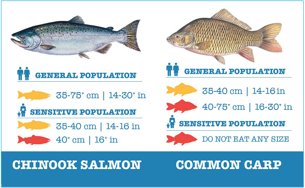 guide to safely eating chinook salmon and common carp