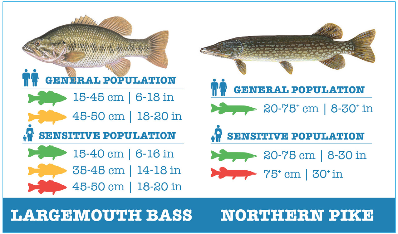 guide to safely eating largemouth bass and northern pike
