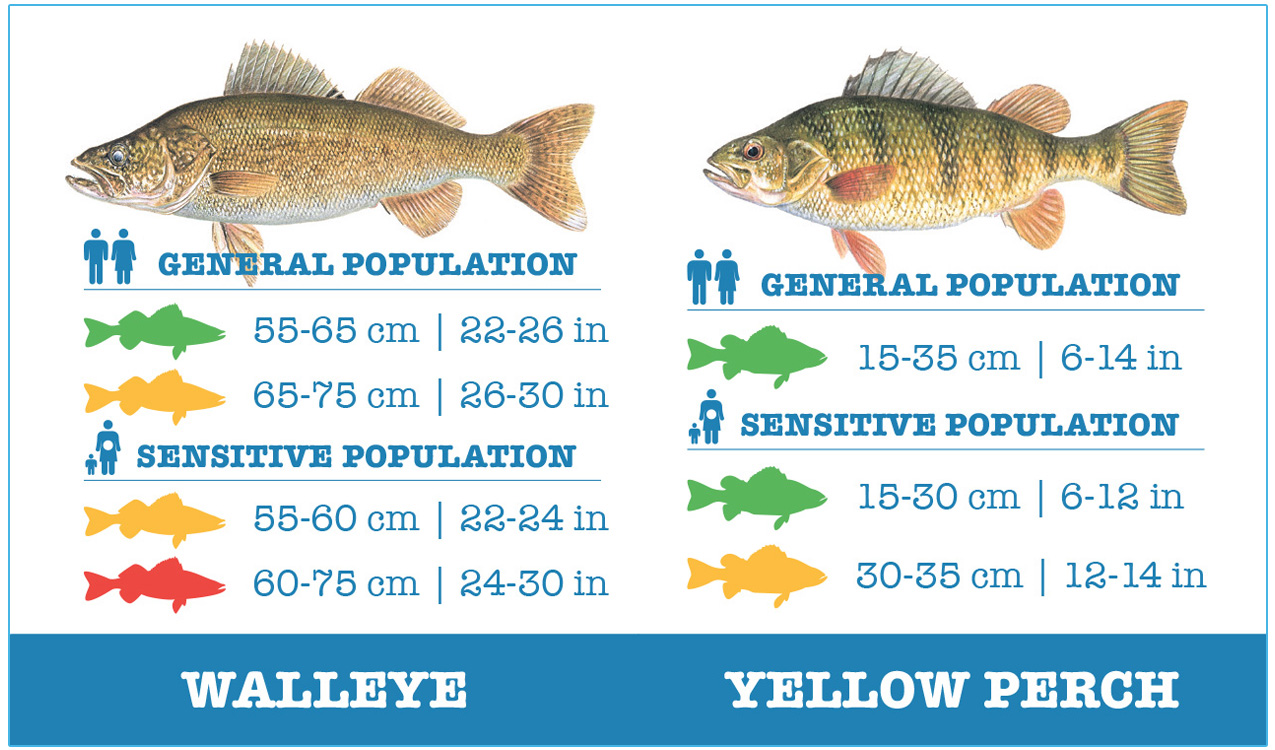 guide to safely eating walleye and yellow perch